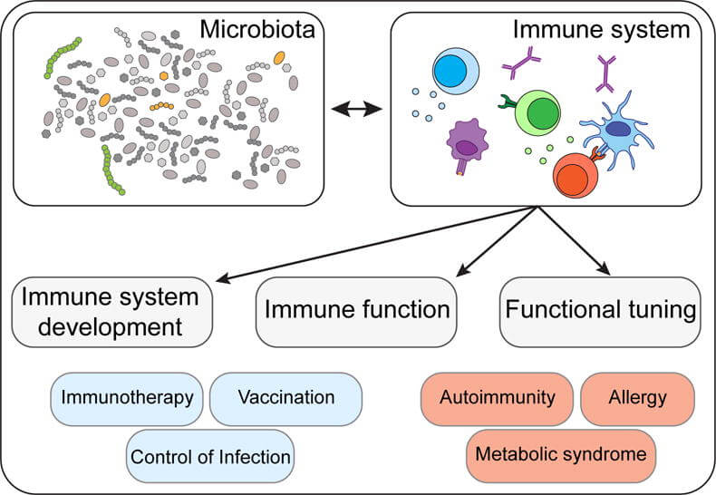A chart of Microbiota and the immune system